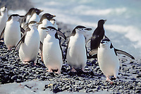 chinstrap penguins, Pygoscelis antarctica, South Orkney Islands, Antarctica