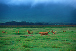 Lions (Panthera leo) in Ngorongoro Crater - Tanzania