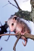 Baby Possum, Didelphis marsupialis, holding on tree branch, Missouri USA