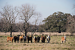 Damon, Texas; several cows in a pasture, all in a line, in early morning sunlight