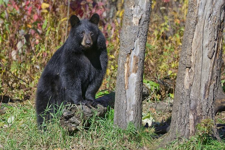 Young Black Bear stanind on a fallen log in front of fall foliage
