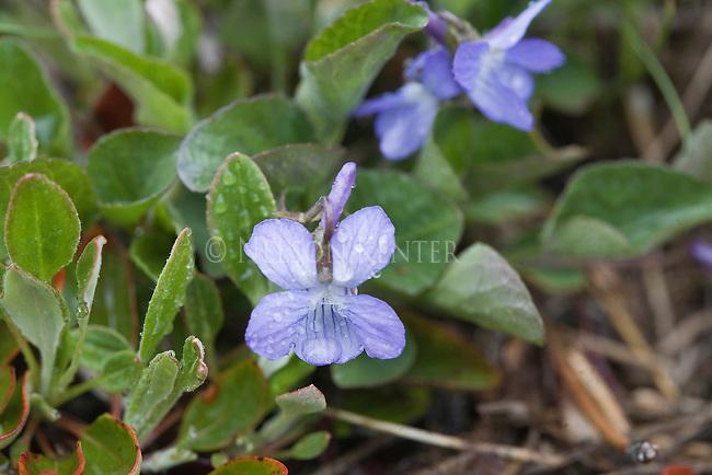 Purple Violet wildflowers in Montana