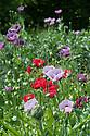 Opium poppies (Papaver somniferum) and Oriental poppies (Papaver orientale), mid June.