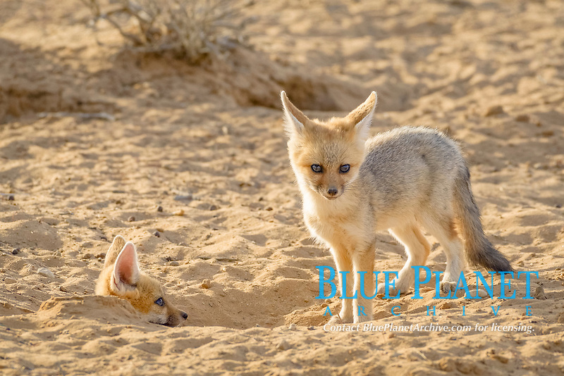 Young Cape foxes (Vulpes chama) at burrow entrance, Kgalagadi Transfrontier Park, Northern Cape, South Africa, Africa