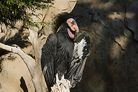 California Condor (Gymnogyps californianus) sunning.