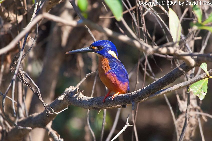 Azure Kingfisher, Yellow Water, Kakadu NP, NT, Australia