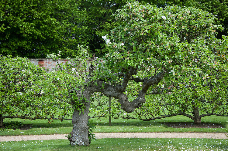 Old espalier apple tree, Rousham House and Garden