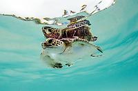 baby green turtle, Chelonia mydas, Wakatobi, Indonesia