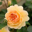 Rosa Port Sunlight ('Auslofty'), and English climbing rose from David Austin.
