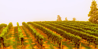 A view of the Mission Hill Winery Grape Vines in the Smoke of the Forest Fires.