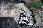 North Ameican river otter yawning. close-up mouth open.