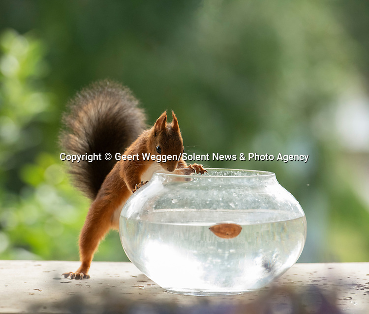A squirrel cools off from the hot weather by taking a dip in a bowl of cold water.  The red squirrel can be seen making a splash as it dived into the fishbowl.<br /> <br /> Photographer Geert Weggen captured the shots in his garden in Bispgarden, Sweden.  SEE OUR COPY FOR DETAILS<br /> <br /> Please byline: Geert Weggen/Solent News<br /> <br /> © Geert Weggen/Solent News & Photo Agency<br /> UK +44 (0) 2380 458800