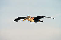A Brown pelican (Pelecanus occidentalis) in flight. Florida.