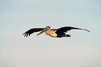 A Brown pelican (Pelecanus occidentalis) in flight. Florida.