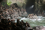 Sea Lion Caves, US Highway 101, Florence, Oregon; America's Largest Sea Cave, sea lions haul out on the rocks inside this two acre cave with a 125 foot ceiling, the only known sea lion rookery inside a cave, the cave was discovered in 1880 by Captian William Cox
