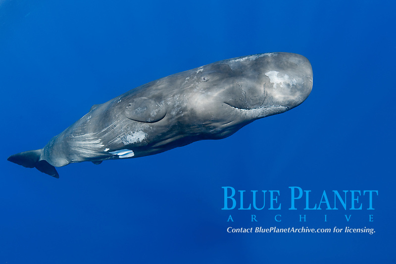 sperm whale, Physeter macrocephalus, juvenile female about 6-11 years old, Endangered Species, Commonwealth of Dominica ( Caribbean Sea)
