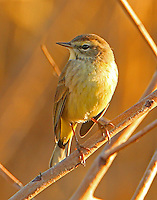 Adult palm warbler in nonbreeding plumage