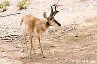 0606-1104  Pronghorn (Prong Buck) in Sonoran Desert, Antilocapra americana  © David Kuhn/Dwight Kuhn Photography