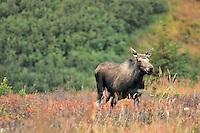 A cow moose avoiding a bull during the fall rut in Chugach State Park.