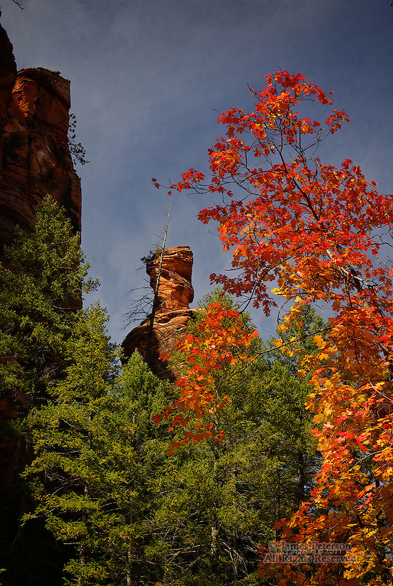 Maple Tree, West Fork of Oak Creek Canyon, Arizona.  Available in sizes up to 30 x 45 inches.