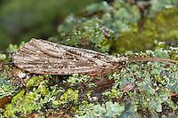 Große Köcherfliege, Phryganea grandis, Phryganeidae, caddyfly, Large Red Sedge