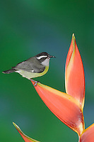 Bananaquit, Coereba flaveola, adult on Heliconia Flower, Central Valley, Costa Rica, Central America