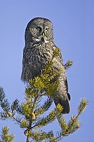Great Grey Owl perched on top of a pine tree