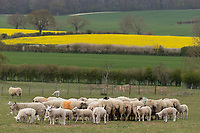30-4-2021 Ewes and lambs batter round feed troughs <br /> ©Tim Scrivener Photographer 07850 303986<br />      ....Covering Agriculture In The UK....