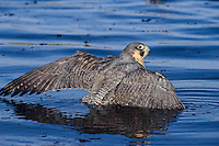 Peregrine falcon (Falco peregrinus) bathing in lake