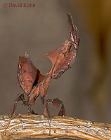 "0314-07ss  Ghost Mantis - Phyllocrania paradoxa ""Female Nymph"" - © David Kuhn/Dwight Kuhn Photography"