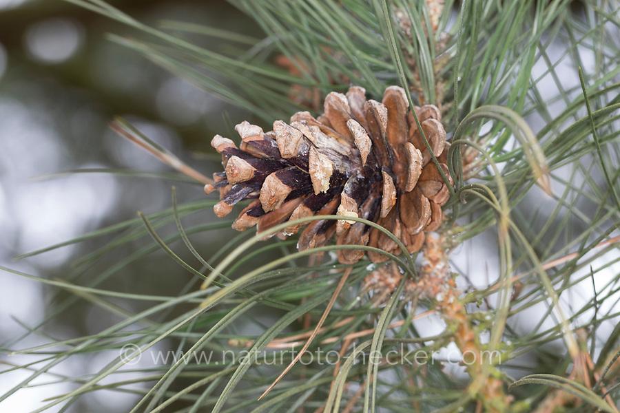 Schwarz-Kiefer, Schwarzkiefer, Schwarzföhre, Kiefer, Zapfen, Kiefernzapfen, Pinus nigra, Pinus austriaca, Black Pine, Austrian pine, cone, cones, Le Pin noir d'Autriche, pin noir
