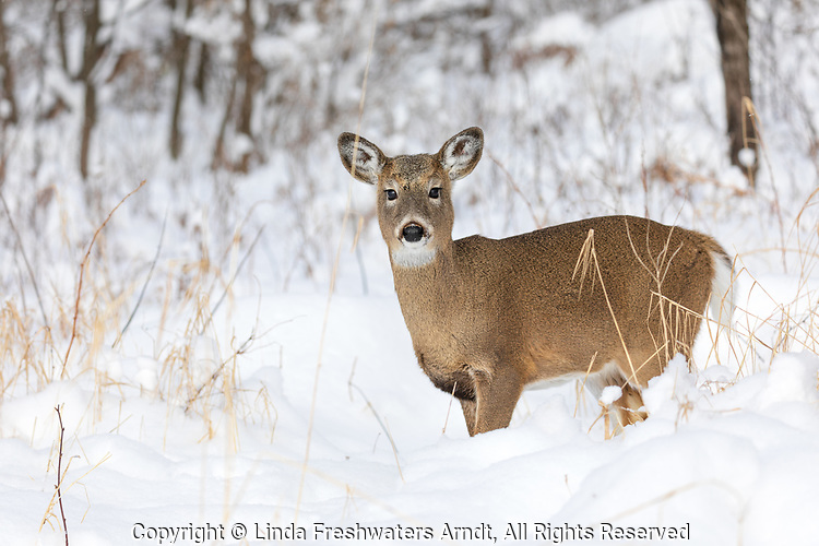 White-tailed fawn standing in the deep winter snow of northern Wisconsin.