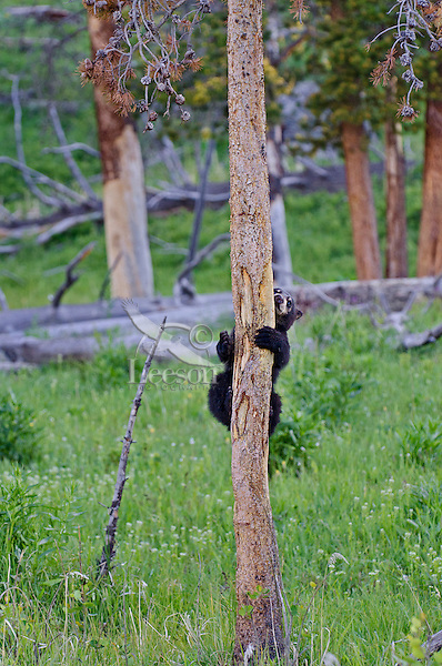 Wild Black Bear (Ursus americanus) cub climbing small tree.  Western U.S., spring.
