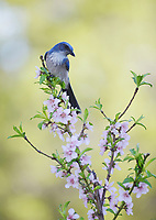 Western Scrub-Jay (Aphelocoma californica), adult perched in blooming Peach tree (Prunus persica), Hill Country, Central Texas, USA