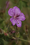 Wild Geranium wildflower
