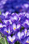 Deutschland, Bayern: Krokusse (Crocus), violett, gehoert zur Familie der Schwertliliengewaechse (Iridaceae) | Germany, Bavaria: Crocus, Crocuses, Croci - genus in the iris family