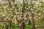 Magnolia at the Arnold Arboretum in the Jamaica Plain neighborhood, Boston, Massachusetts, USA
