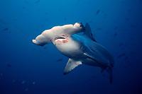 scalloped hammerhead shark, Sphyrna lewini ( note parasites ), Cocos Island, Costa Rica, East Pacific Ocean