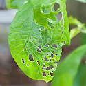 Holes in leaves of plum tree caused by caterpillars of winter moth (Operophtera brumata), early May.