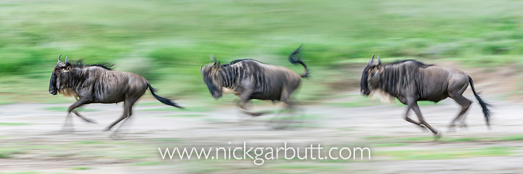 Running white-bearded wildebeest (Connochaetes taurinus albojubatus) crossing the shore of Lake Ndutu on migration. Ngorongoro Conservation Area / Serengeti National Park, Tanzania, East Africa (digitally stitched image)