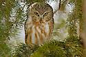 00850-003.18 Saw-whet Owl (DIGITAL) is perched in balsam fir tree.  Hunt, prey, predator, raptor, eyes, bird, birding.  H3F