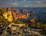 Juniper Snag, Matthes Point, North Rim, Grand Canyon National Park, Arizona