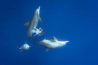 Indo-Pacific bottlenose dolphin, Tursiops aduncus, mating, courtship, displaying penis, Chichi-jima, Bonin Islands, Ogasawara Islands, Japan, Pacific Ocean