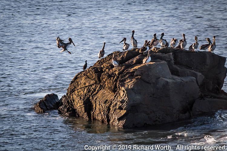 A Brown pelican, on New Year's Day 2019, coming in for a landing on a rocky outcrop off the shoreline at Año Nuevo State Reserve on the Northern California Coast.