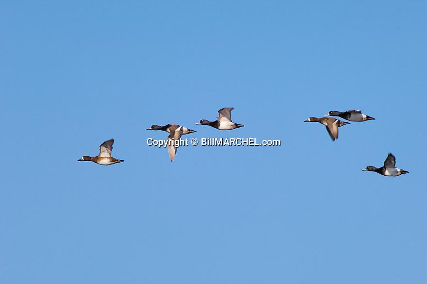 00342-006.20 Lesser Scaup (DIGITAL) flock in flight against blue sky.  Bluebill, action, hunt, waterfowl, wetland, fly.  H2L1