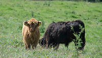 BNPS.co.uk (01202 558833)<br /> Pic: ZacharyCulpin/BNPS<br /> <br /> The cattle at their new home on Eggardon Hill in Dorset<br /> <br /> A farmer whose beloved Highland cow was chased to its death by two pet dogs has been given nine more by a kind stranger.  <br /> <br /> Gladis, a 'beautiful' rare breed, broke her neck and died two months ago along with the unborn calf she was about to give birth to after tumbling 40ft down a steep embankment.<br /> <br /> She was running from two Labradors that had been let off their leads on Eggardon Hill near Bridport, Dorset.