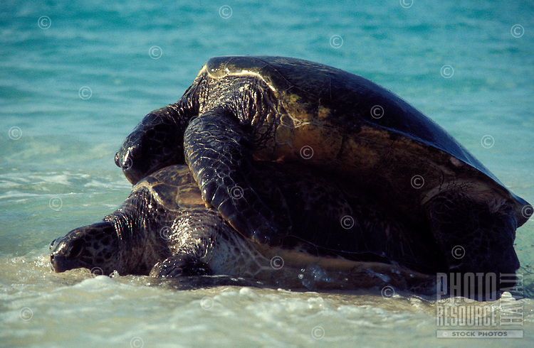 Green Sea Turtles mating in surf at Tern I., French Frigate Shoals. Threatened Species