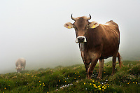 Heifers in the mist and snow of the highest alp in Switzerland.