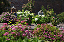 """20/06/16<br /> <br /> Helen Bousie and Alf Bousie tending to the plants.<br /> <br /> Tucked away in a hidden walled garden of an inner-city public park, the UK's largest hydrangea collection is putting on its best display ever, following the sudden heatwave after several months of rain.<br /> <br /> Full story:  <br /> <br /> https://fstoppressblog.wordpress.com/britains_biggest_hydrangea_garden/<br /> <br /> .And what used to be a flower traditionally associated with """"granny's cottage garden"""" is blooming back into fashion thanks to the rising trend for all things shabby chic and retro-styled.<br /> <br /> There are more than 600 individual hydrangea bushes with a dozen or so different varieties, planted in Derby's Darley Abbey park, formerly part of an estate belonging to the nearby cotton mills.<br /> <br /> All Rights Reserved, F Stop Press Ltd. +44 (0)1773 550665"""