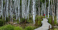 Betula neoalaskana, Alaska Paper Birch trees in boreal forest boardwalk trail; Creamer's Field Migratory Waterfowl Refuge, Fairbanks, Alaska
